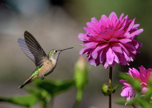 Wall Art - Photograph - Hummingbird And Pink Zinnia by Dawn Key