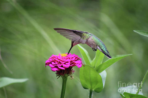 Photograph - Hummingbird And Pink Zinnia by Karen Adams