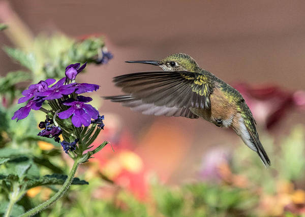 Wall Art - Photograph - Hummingbird And Purple Flower by Dawn Key