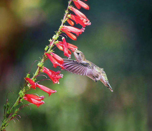 Wall Art - Photograph - Hummingbird And Red Trumpet Flowers  by Saija Lehtonen