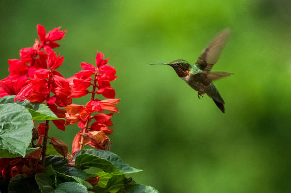 Wall Art - Photograph - Hummingbird And Scarlet Sage by Lori Coleman