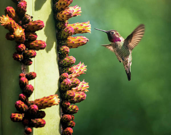 Wall Art - Photograph - Hummingbird And The Cacti Flowers  by Saija Lehtonen
