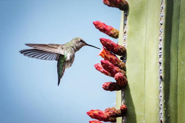 Wall Art - Photograph - Hummingbird And The Cactus Flowers  by Saija Lehtonen