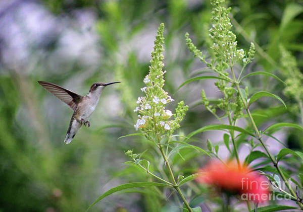 Photograph - Hummingbird And White Butterfly Bush by Karen Adams