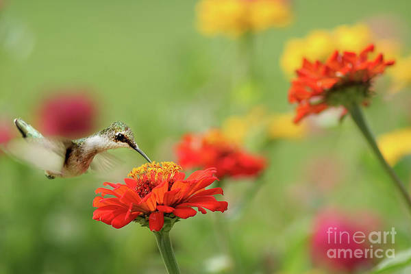 Wall Art - Photograph - Hummingbird And Zinnias by Darren Fisher