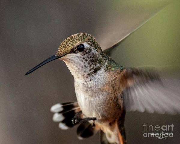 Photograph - Hummingbird At Dawn by Steven Natanson