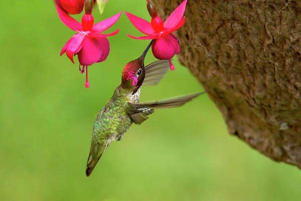 Photograph - Hummingbird At Fuchsia by Sharon Talson