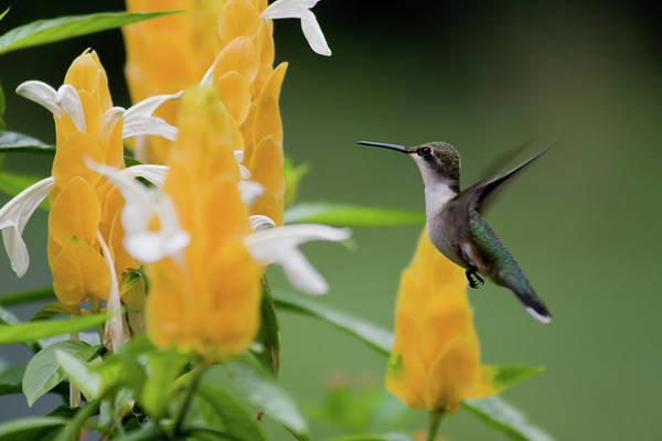 Photograph - Hummingbird At Shrimp Plant by Jill Lang