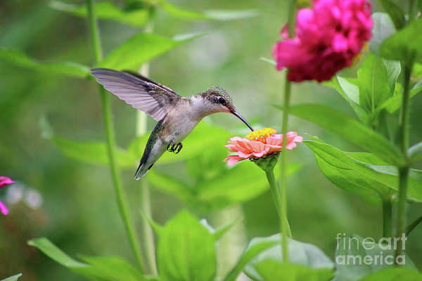 Photograph - Hummingbird At Zinnia In Garden by Karen Adams