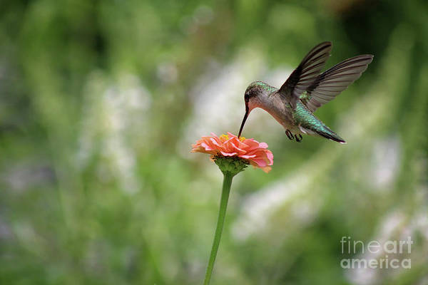Photograph - Hummingbird Balance by Karen Adams