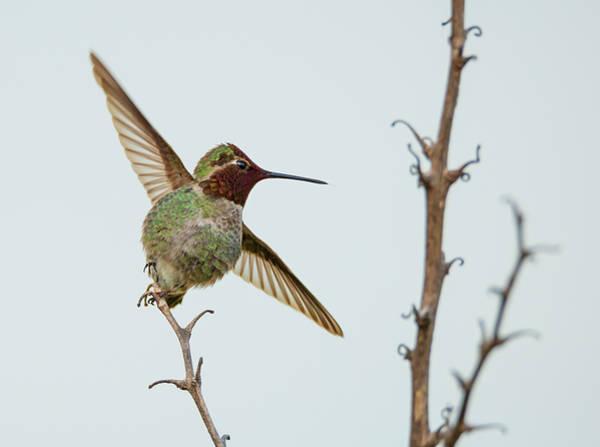 Photograph - Hummingbird Ballet by Loree Johnson