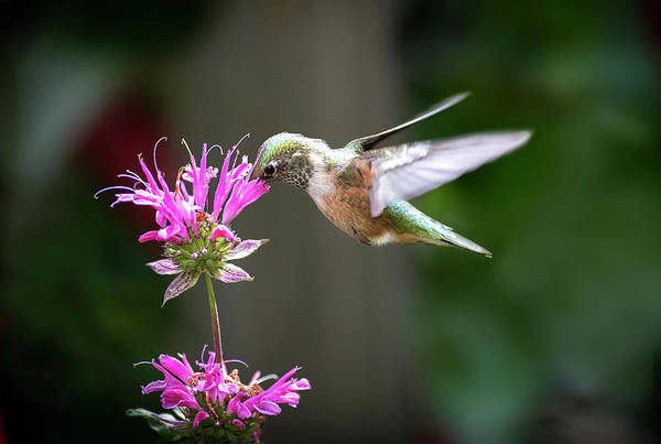 Photograph - Hummingbird Beauty by Judi Dressler