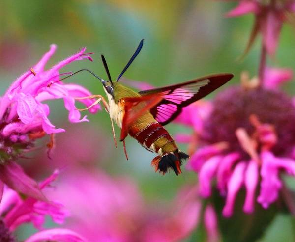 Clearwing Moth Photograph - Hummingbird Clearwing Hawk Moth by Jose Mendes