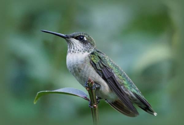 Photograph - Hummingbird Close-up by Sandy Keeton