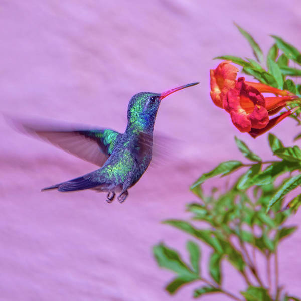 Photograph - Hummingbird by Dan McManus
