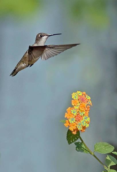 Photograph - Hummingbird by David Waldrop