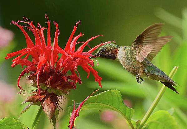 Photograph - Hummingbird Delight by William Jobes