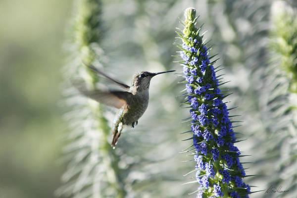 Photograph - Hummingbird by Diana Haronis