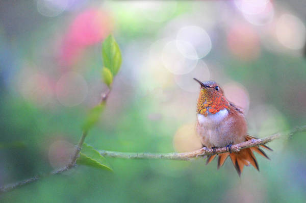 Photograph - Hummingbird Dream by Lynn Bauer