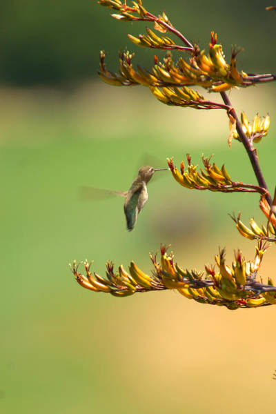 Photograph - Hummingbird Drinking Nectar by Jill Reger