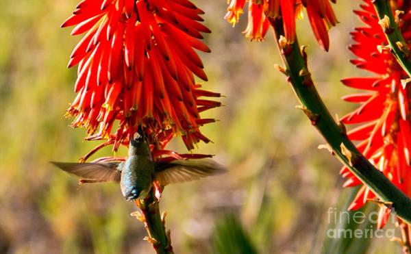 Photograph - Hummingbird Feeding by Kelly Holm