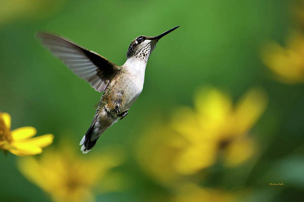 Photograph - Hummingbird Flight Of Fancy by Christina Rollo