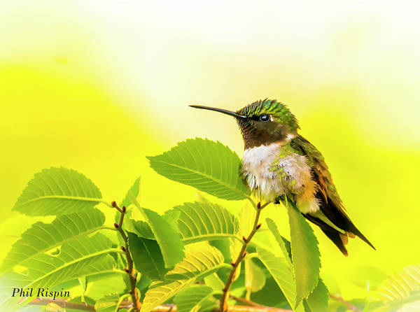 Photograph - Hummingbird Fluffing Up His Feathers by Philip Rispin