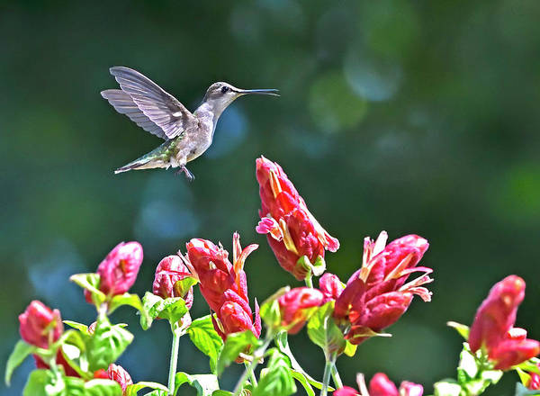 Photograph - Hummingbird Flyby Red Flowers by William Jobes