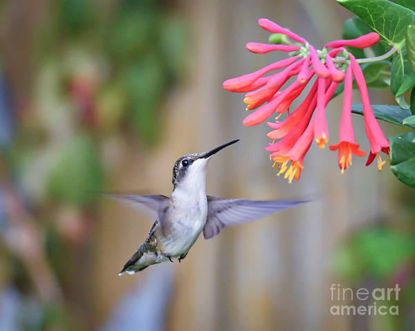 Hummingbird Happiness 2 Art Print