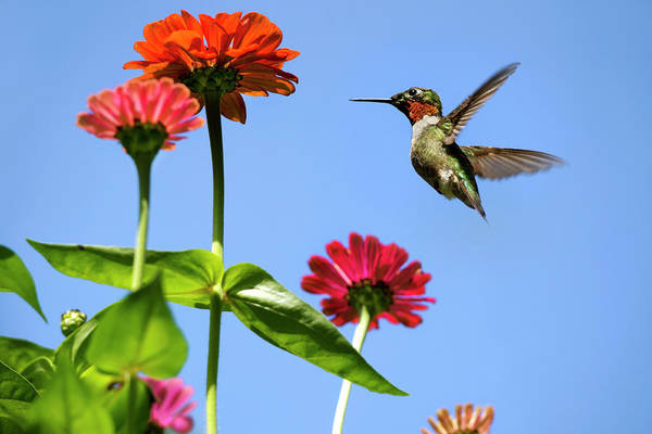 Photograph - Hummingbird Happiness by Christina Rollo
