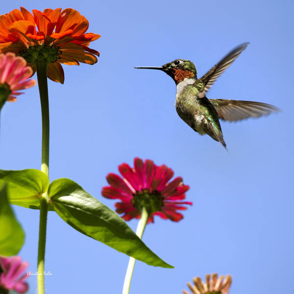 Photograph - Hummingbird Happiness Square by Christina Rollo