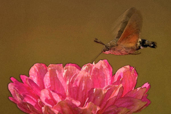 Photograph - Hummingbird Hawkmoth Flight by Cliff Norton