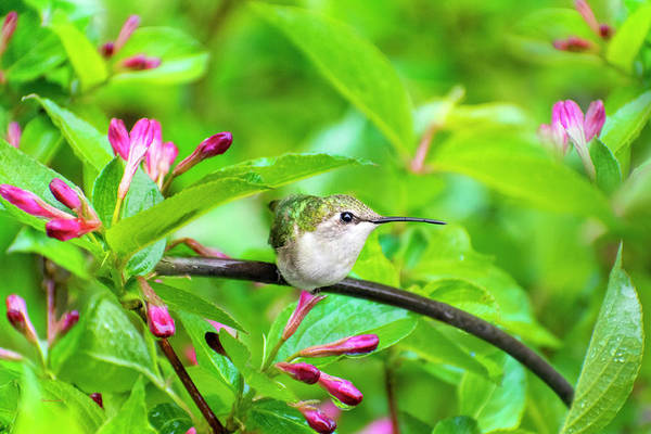 Wall Art - Photograph - Hummingbird Honeysuckle by Christina Rollo