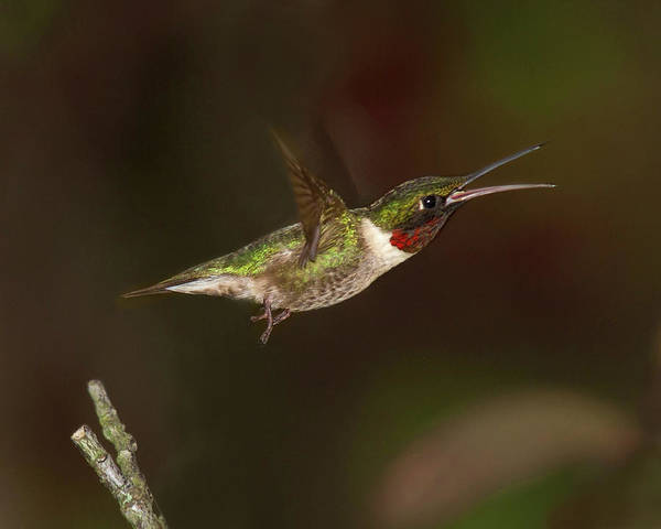 Photograph - Hummingbird Hot Pursuit by Lara Ellis