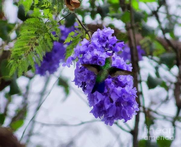 Photograph - Hummingbird In A Jacaranda Tree by John  Kolenberg