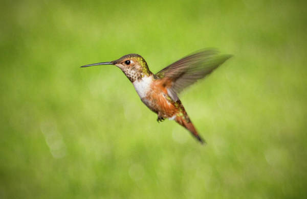 Photograph - Hummingbird In Flight by Denise Bird