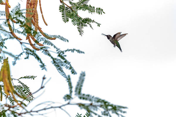 In Flight Photograph - Hummingbird In Flight Isolated On White Sky by Susan Schmitz