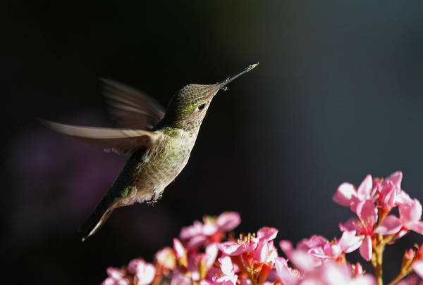 Photograph - Hummingbird In Flight by Juergen Roth