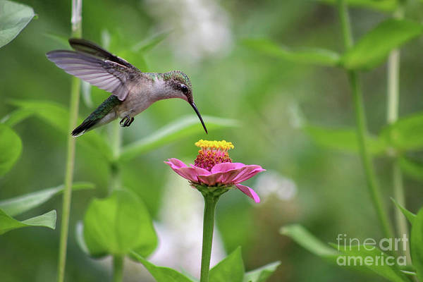 Photograph - Hummingbird In Flight by Karen Adams
