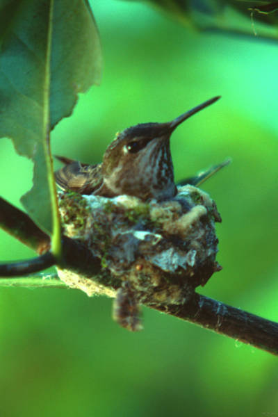 Wall Art - Photograph - Hummingbird In Nest by Soli Deo Gloria Wilderness And Wildlife Photography