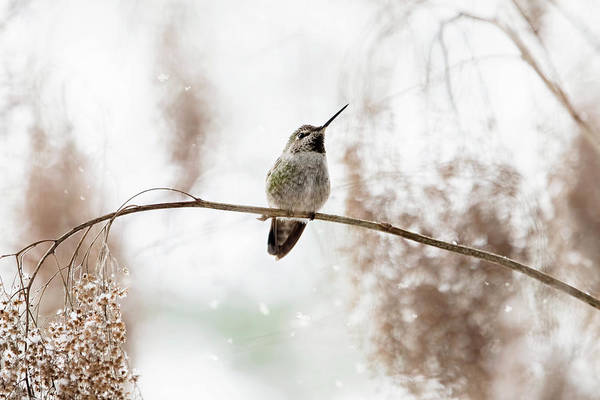 Photograph - Hummingbird In Snow by Peggy Collins