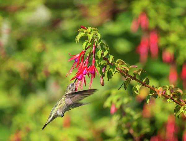 Photograph - Hummingbird In The Fuchsia by Loree Johnson