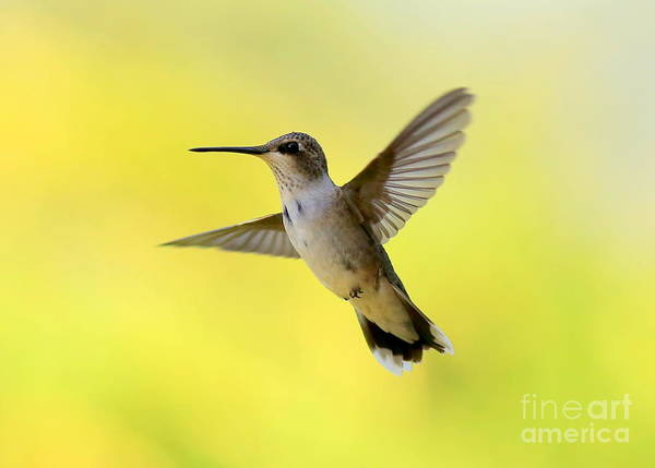 In Flight Photograph - Hummingbird In Yellow by Carol Groenen