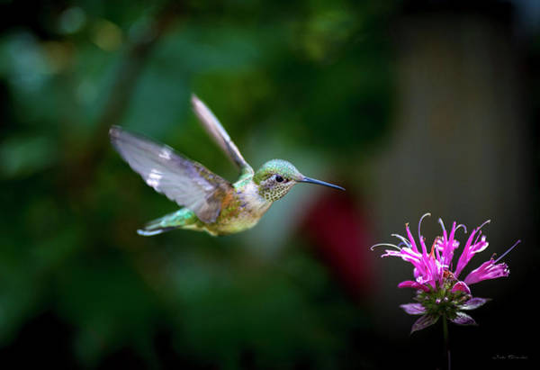Photograph - Hummingbird Jewel by Judi Dressler