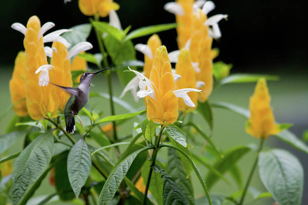 Photograph - Hummingbird by Jill Lang
