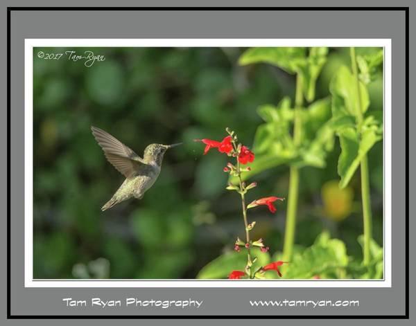 Photograph - Hummingbird Matte 2 Id by Tam Ryan