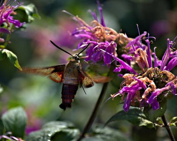 Photograph - Hummingbird Moth 1 by John Feiser