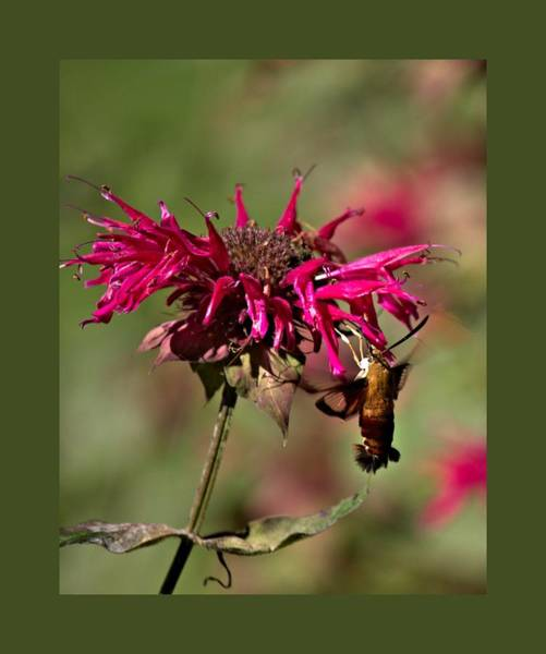 Photograph - Hummingbird Moth 15 by John Feiser