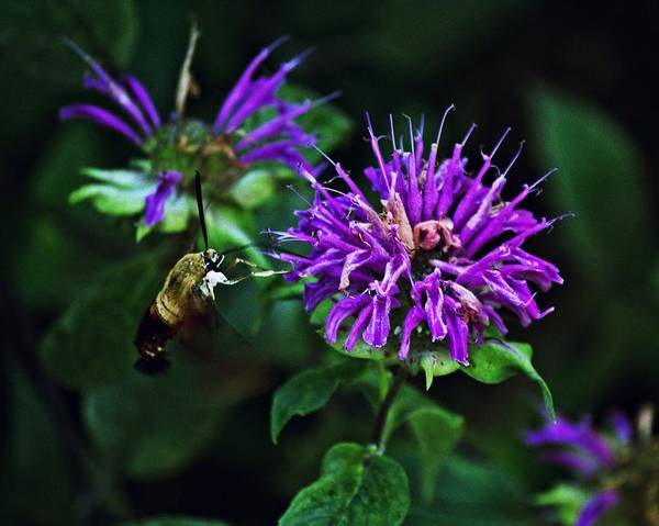 Photograph - Hummingbird Moth 2 by John Feiser