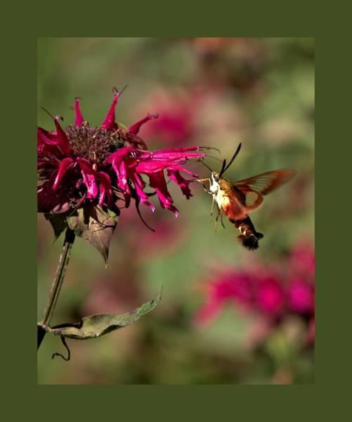 Photograph - Hummingbird Moth 33 by John Feiser